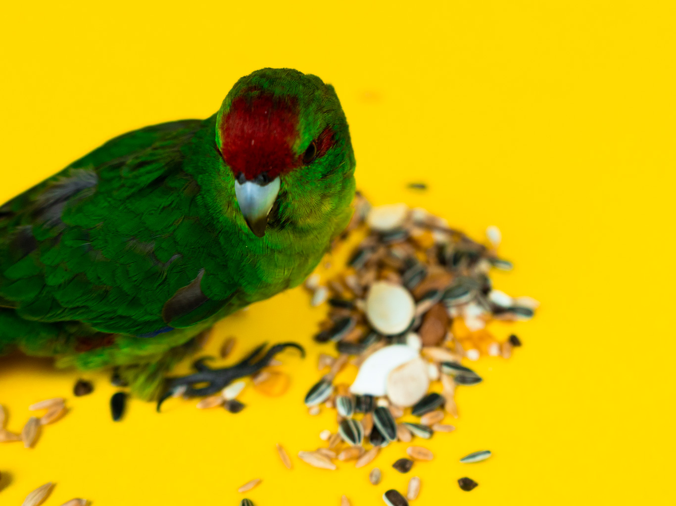 The Best Diet for Kakariki Parrots