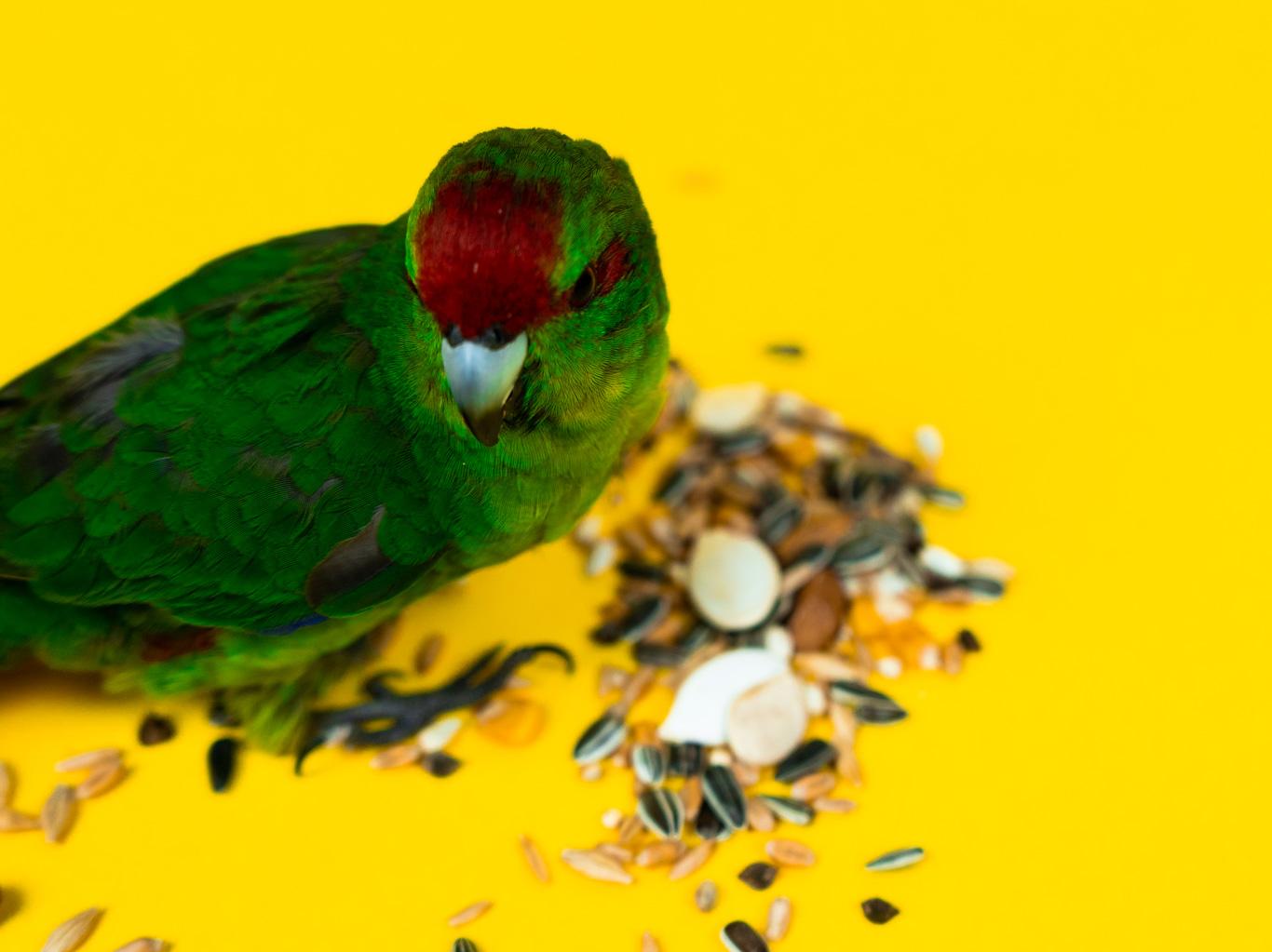 The Best Diet for Kakariki Parrots