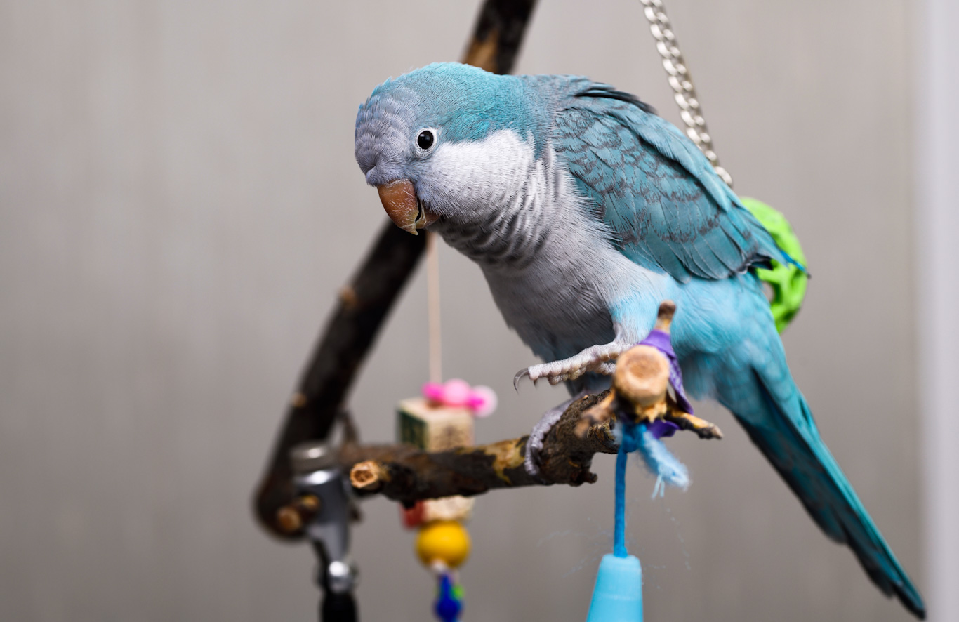Parrots Like to Swing